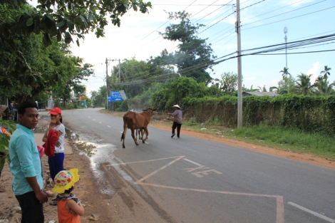 ... we were just amused to see a lady crossing the street with her cows