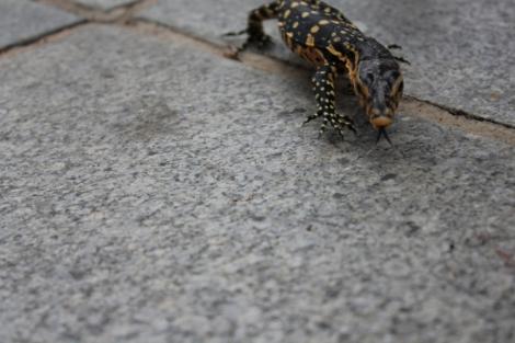 Big lizard gecko thing. No big deal